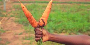 image de carottes les jardins chez marlène